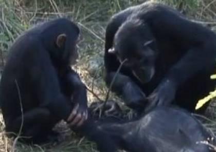فيديو حير العلماء.. شمبانزي تنظف أسنان ابنها المتوفي