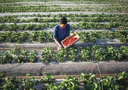 غزة تصدر الفراولة للسعودية