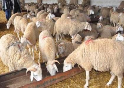 الزراعة تحدد أسعار الأضاحي في الضفة
