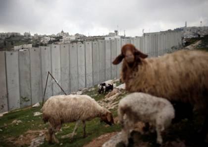 """فيديو: الاحتلال """"يعتقل"""" نعجة في القدس ونشطاء يسخرون"""