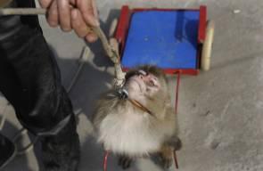 القرود وسيلة لجني الأرباح في الصين