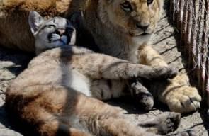 صداقة شبلي أسد وبوما في حديقة حيوان روسية