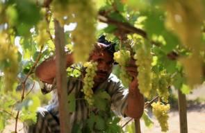 موسم حصاد العنب بقطاع غزة
