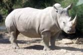 """نهاية """"مأساوية"""" لآخر ذكور وحيد القرن الأبيض"""
