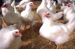 الزراعة: خطوات لوقف التدهور الحاصل في أسعار الدواجن