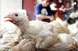 ظهور بؤر لفيروس انفلونزا الطيور الجديد في مصر