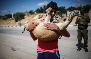 نقل لبؤة واسد من غزة الى محمية في افريقيا