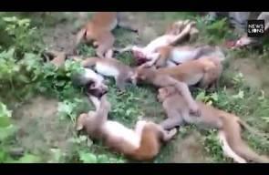 12 قردا ماتوا بالسكتة القلبية لـ خوفهم من نمر