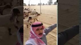 شاب سعودي يحلق عاليا بعد استعراض مهاراته امام خروف