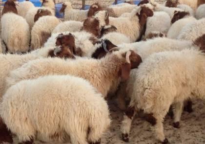 الزراعة: نجحنا بزيادة أعداد الخراف المستوردة سنويًا