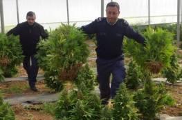 الشرطة تضبط 5 أشجار كبيرة من القات المخدر غرب رام الله