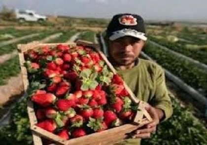 غزة تُصدّر الفراولة الى اوروبا