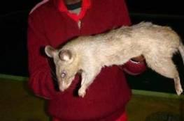 فئران عملاقة تلتهم طفلة حية!