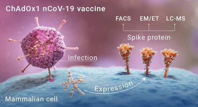 صور لكيفية تطور طفرات بروتين سبايك من اللقاح على سطح الخلايا